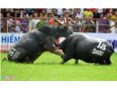 Bộ VHTTDL đề nghị đảm bảo an toàn tuyệt đối cho Lễ hội Chọi trâu
